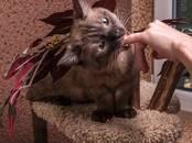 Кошки, котята Манчкин, Фото
