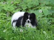 Собаки, щенки Карликовый шпиц, цена 20 000 рублей, Фото