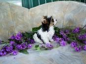 Собаки, щенки Бивер йоркширский терьер, цена 25 000 рублей, Фото