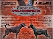 Собаки, щенки Доберман, цена 30 000 рублей, Фото