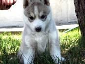 Собаки, щенки Сибирский хаски, цена 25 000 рублей, Фото