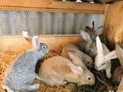 Грызуны Кролики, цена 300 рублей, Фото