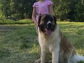 Собаки, щенки Московская сторожевая, цена 30 000 рублей, Фото
