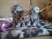 Кошки, котята Шотландская короткошерстная, цена 2 000 рублей, Фото