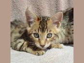 Кошки, котята Бенгальская, цена 18 000 рублей, Фото