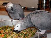 Попугаи и птицы Попугаи, цена 7 500 рублей, Фото