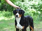 Собаки, щенки Большой Швейцарский зенненхунд, цена 60 000 рублей, Фото