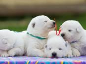 Собаки, щенки Белая Швейцарская овчарка, цена 30 000 рублей, Фото
