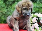 Собаки, щенки Испанский мастиф, цена 80 000 рублей, Фото